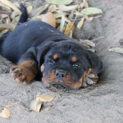 Young Dogs, Kyrajack Rottweilers