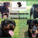Kyrajack-Rottweilers-Upcoming-Litter-2019-v2