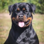 Kyrajack-Rottweilers-Upcoming-Litter-2019-v2